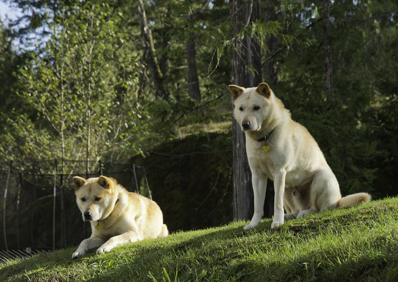 two Korean Jindo dogs