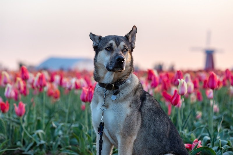 Portrait of a Kunming wolfdog posing on a tulip field.