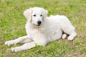 Hungarian Kuvasz dog in the park. Dog portrait