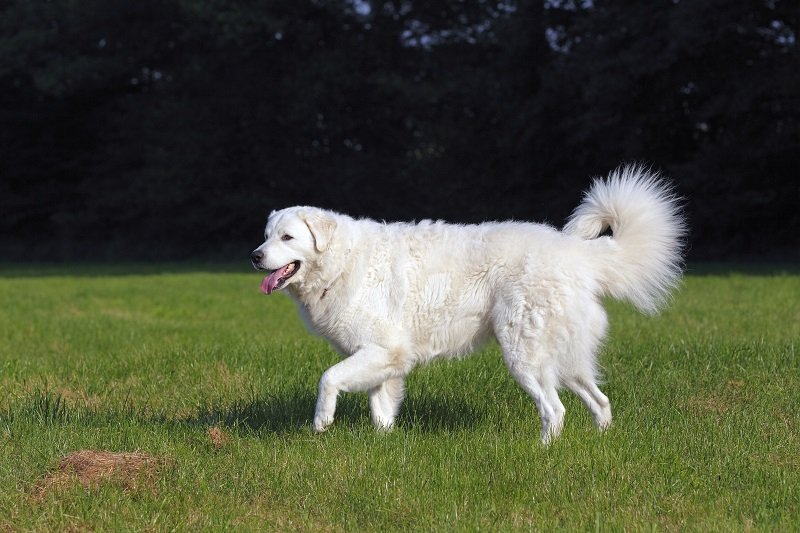 Kuvasz (Canis lupus familiaris), male, livestock guardian dog