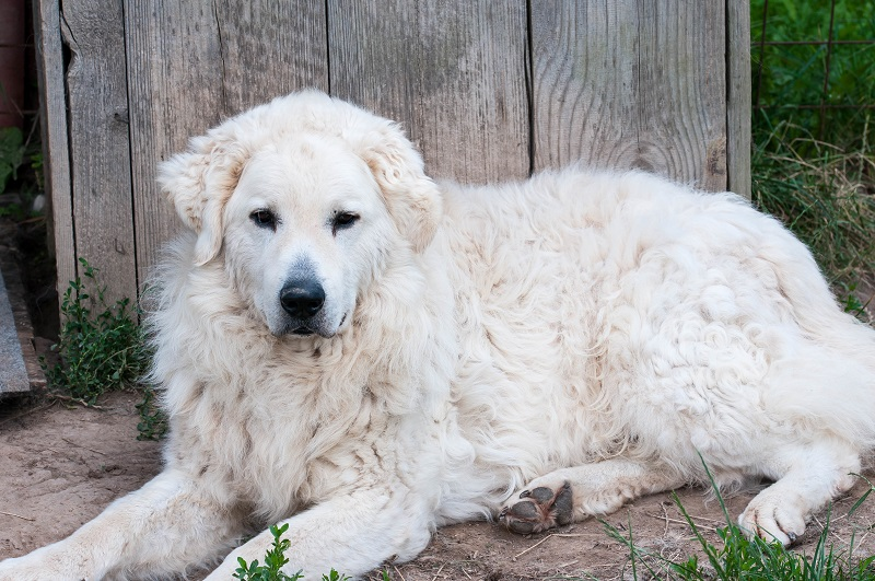 Adult male Hungarian Kuvasz shepherd dog resting on the front of his house.