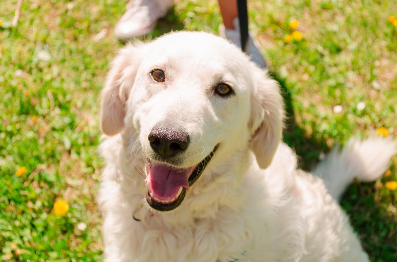 white happy kuvasz dog