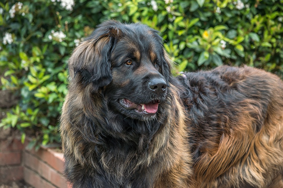 photo of smiling Leonberger
