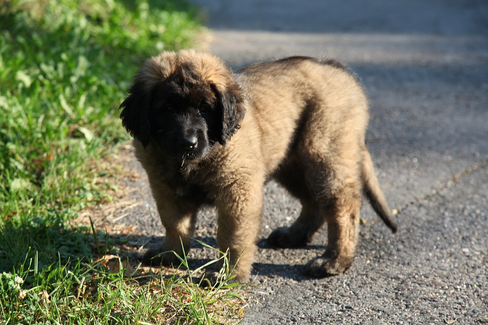 leonberger puppy standing on pavement
