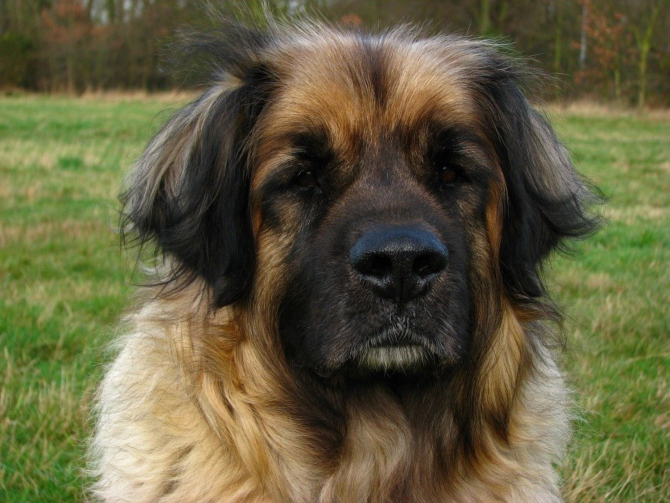 Leonberger frontal photo