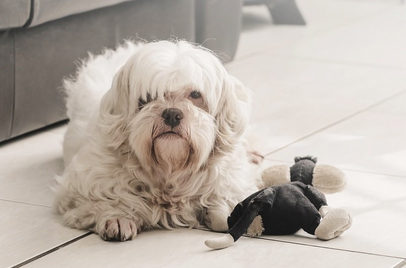Lhasa apso with its toy