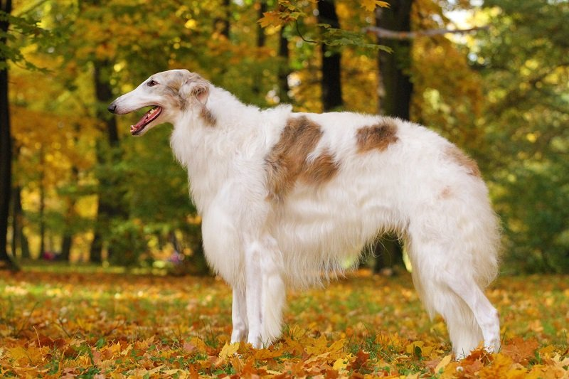 White and brown Borzoi from the side