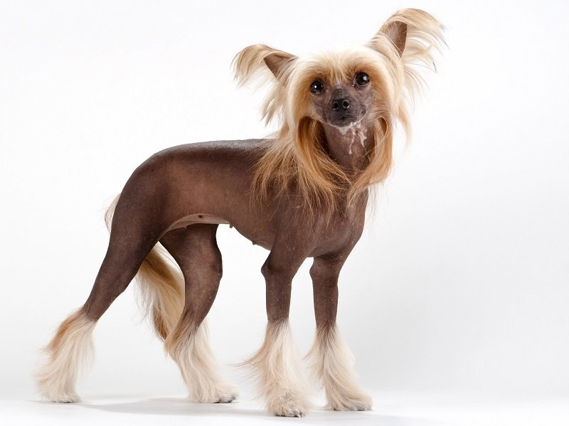 Chinese Crested Dog female standing on white background.