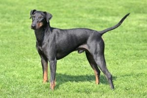 Typical Manchester Terrier in the spring garden