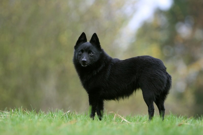 black schipperke standing in yard