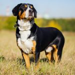 Swiss dog entlebucher Swiss outdoors.