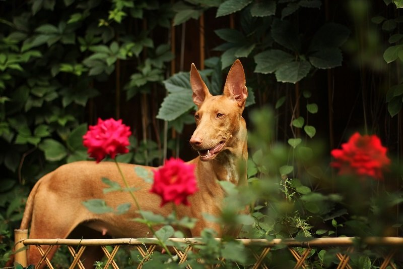 Pharaoh hound walking in the garden among the flowers