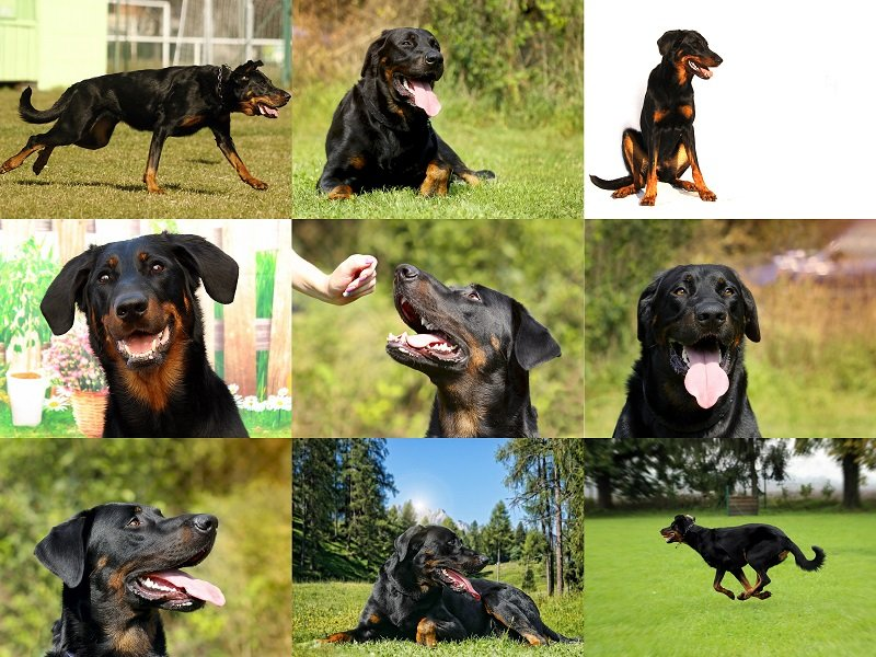 Big Beauceron dog. Mix nine photos. Beautiful representative of the breed