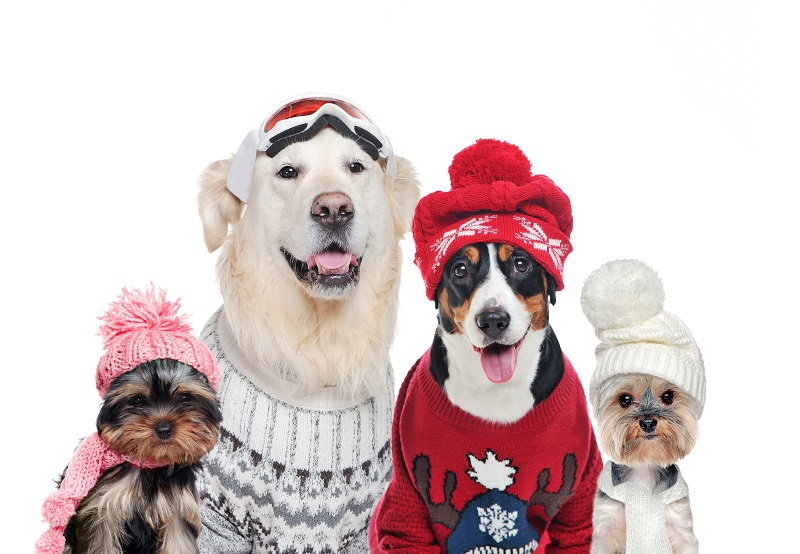 A group of dogs wearing winter hats and sweaters isolated on white