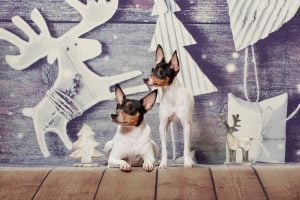 Two small black-red-white dog of the American Toy Fox Terrier breed on a Christmas background