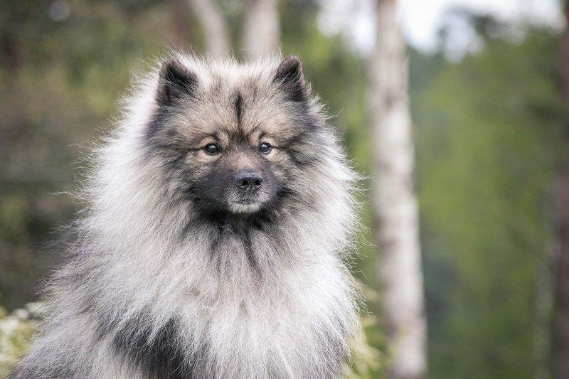 Keeshond dog in profile