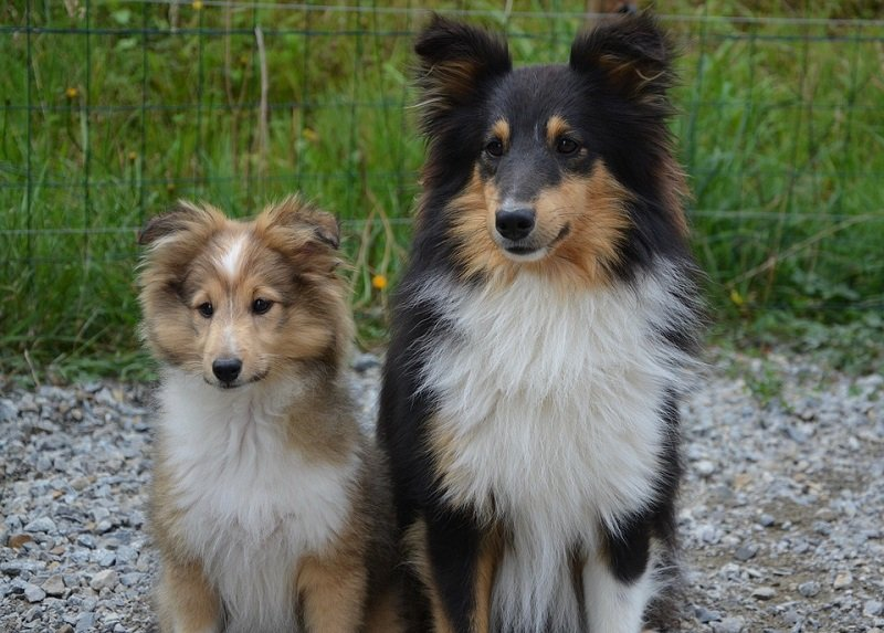 male and female shelties