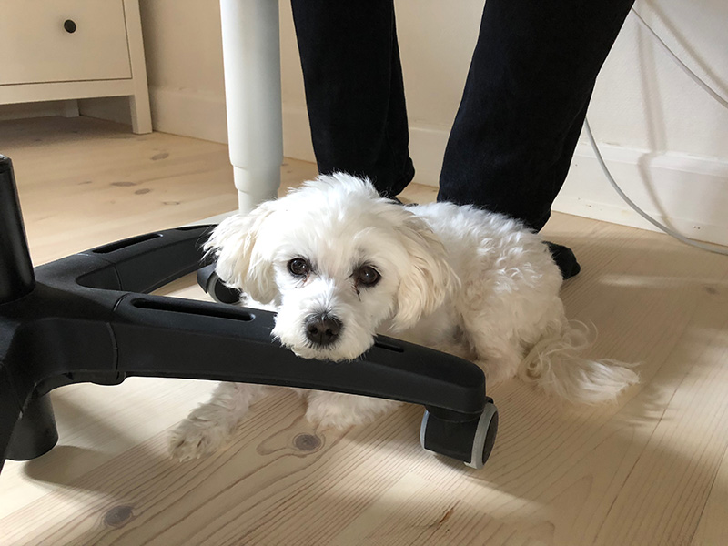 Maltese laying on floor with head on chair