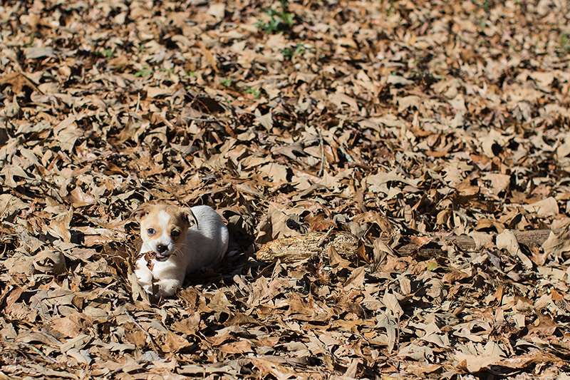 Mexican Hotdog puppy in leaves