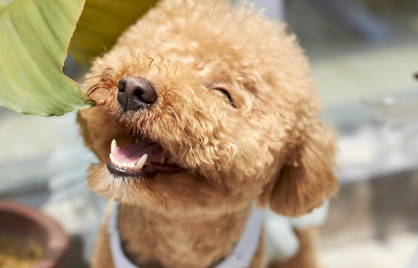 mini poodle are best small dog breeds for first time owners