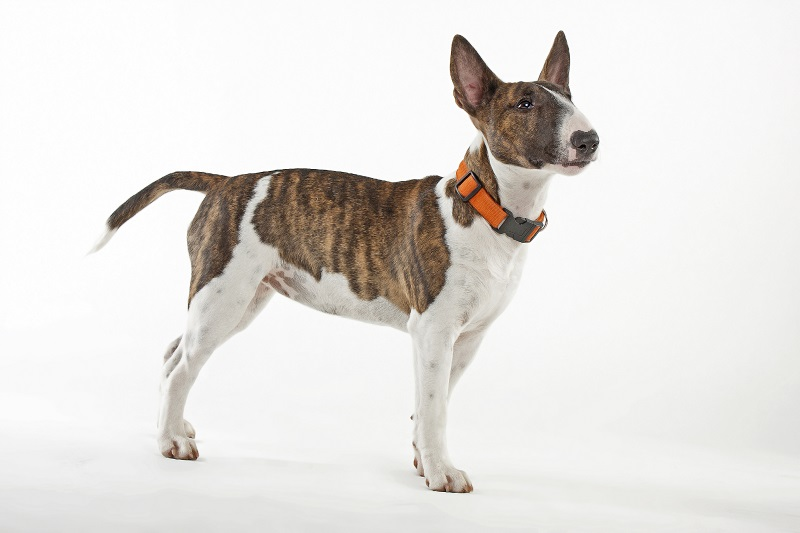 Miniature Bull Terrier from the side