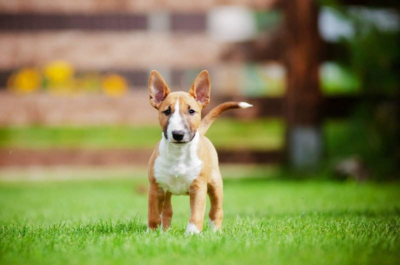 Red bull terrier puppy
