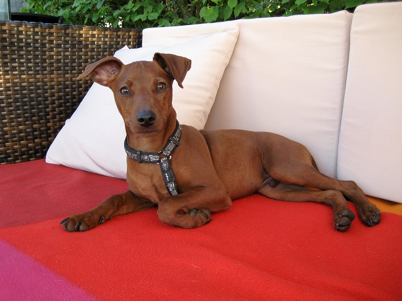 red miniature pinscher on sofa