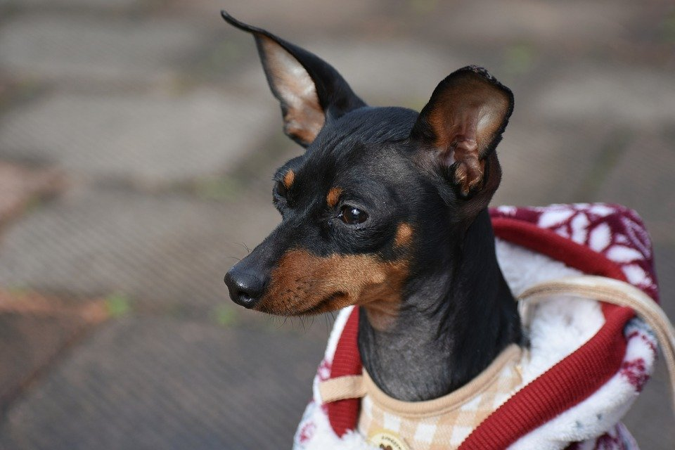 Miniature Pinscher Get To Know The Lively Intelligent King Of Toys