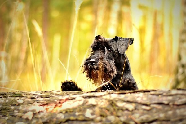miniature-schnauzer best dog breeds for seniors