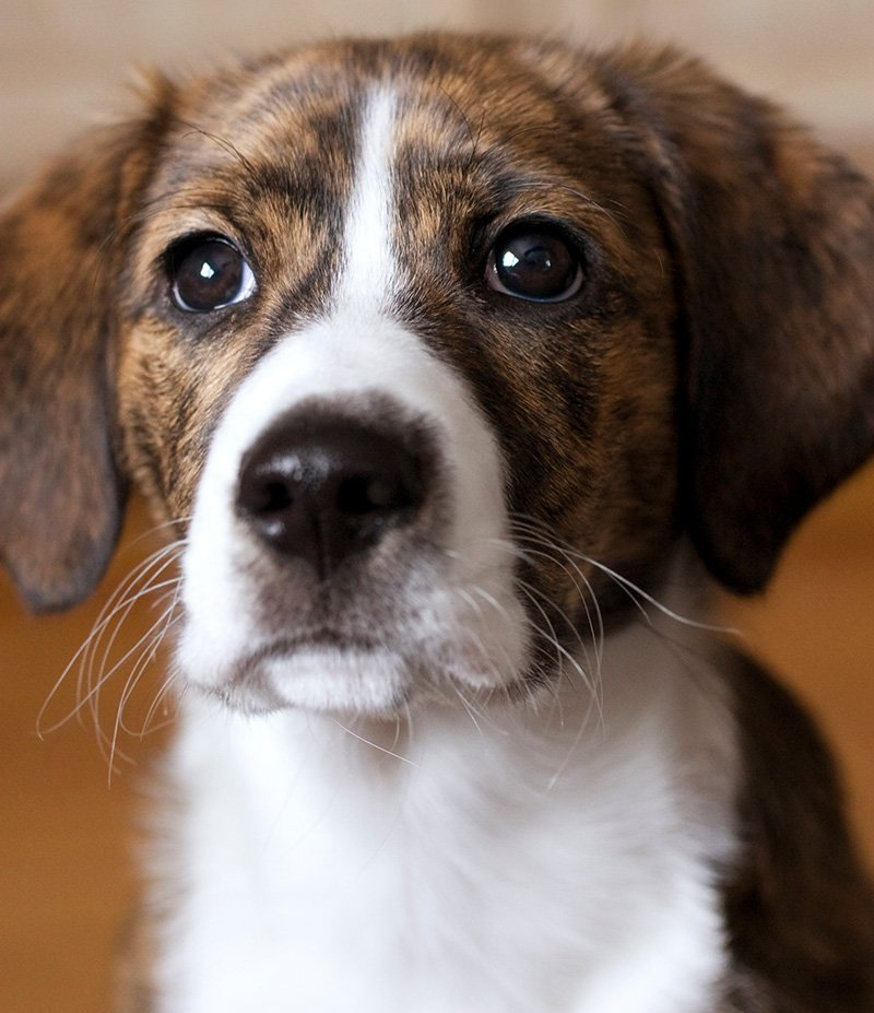 Female Mountain Feist and Beagle mixed breed puppy