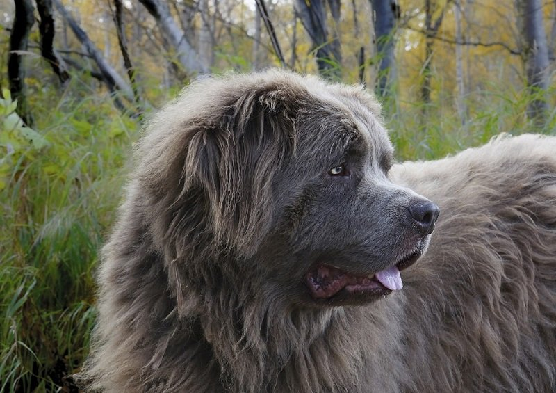 newfoundland multi purpose farm dog