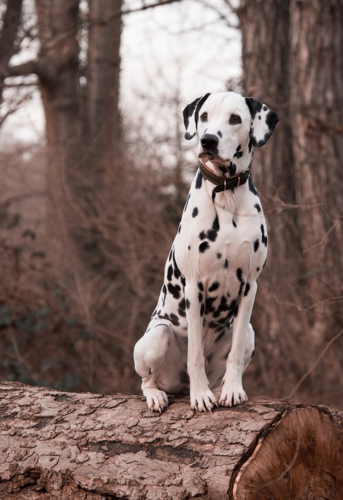 an obedient dalmatian sits watchfully