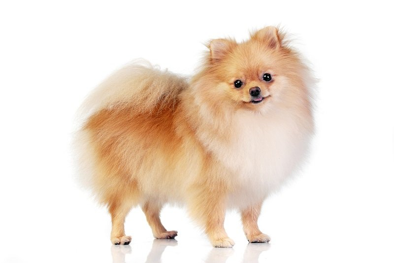 Studio shot of an adorable Pomeranian dog standing on white background