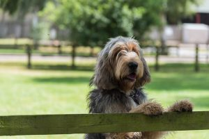 Large grey and cream coloured Otterhound