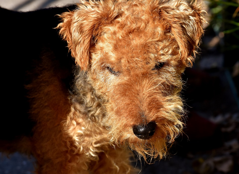 owning a wire fox terrier