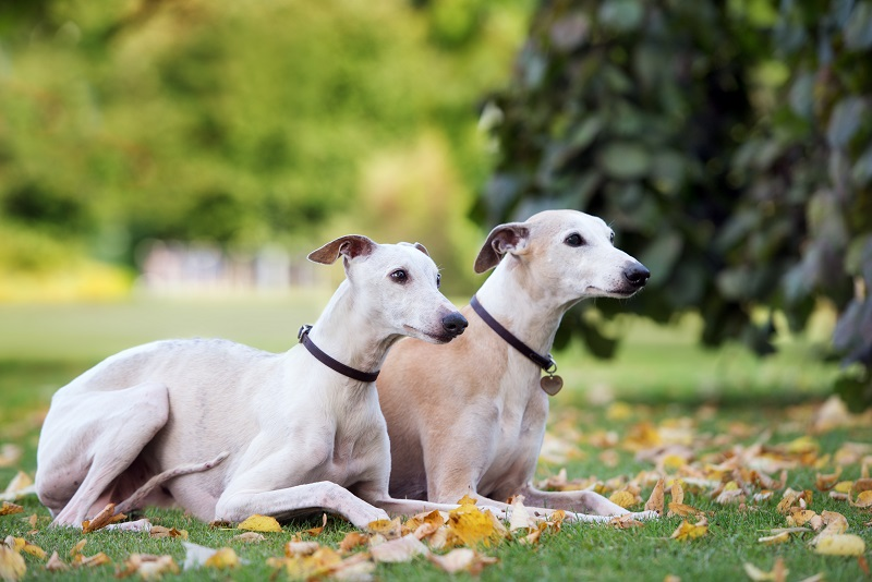 two whippet dogs lying down outdoors in autumn
