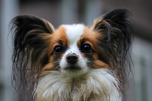 papillon best small dog breed for first time owners in apartment