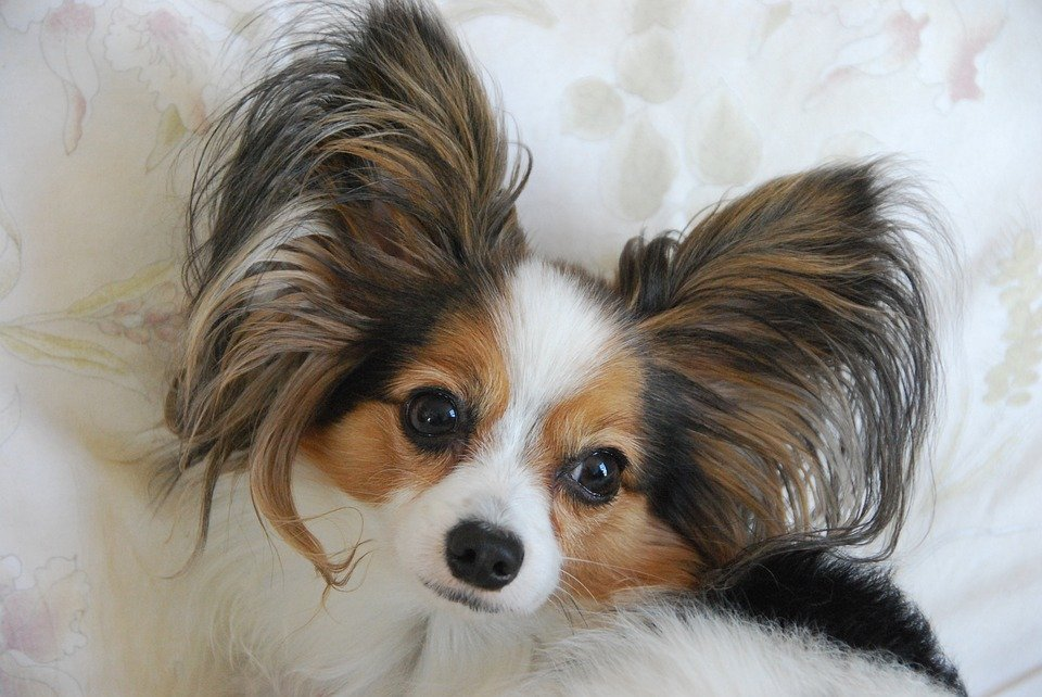Beautiful Papillon dog with butterfly ears