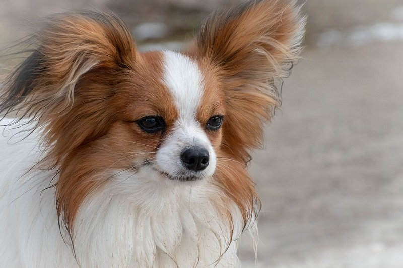 papillon dog easiest to train small dogs