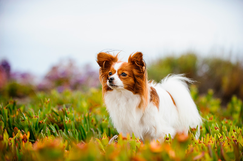 Papillon dog standing in the field