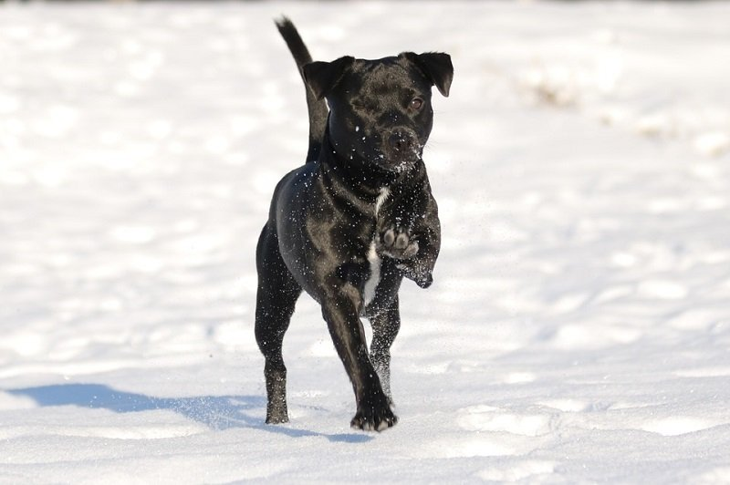 Patterdale Terrier The Traditional Working Terrier From Great Britain