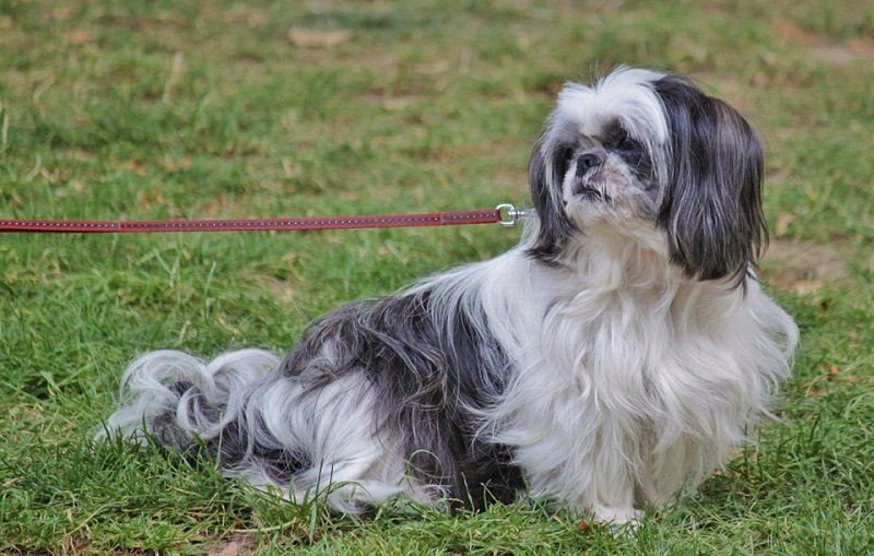 a grey and white pekingese looks back