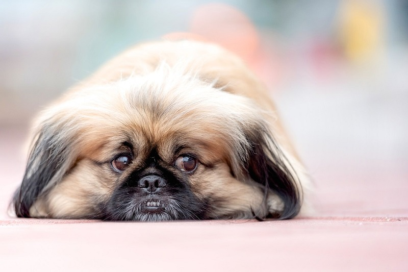pekingese sleeping on blanket