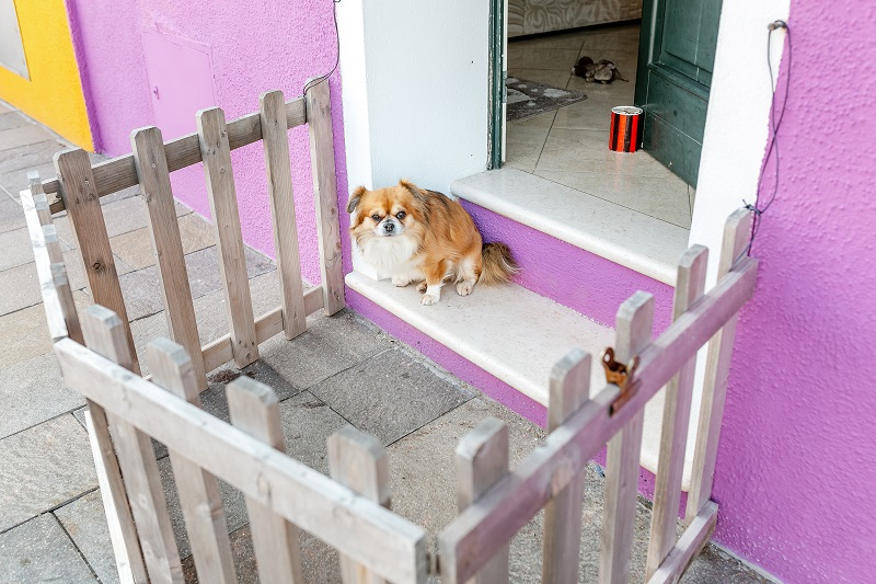 Pekingese sitting on the porch near the door in the playpen fence