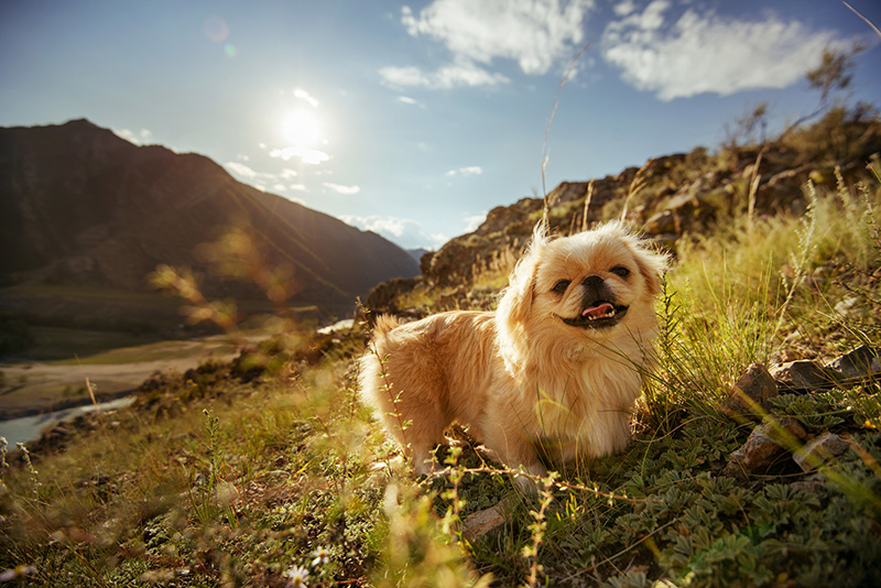 Pekingese dog with mountains in the background