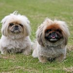pekingese-puppies-playing on grass