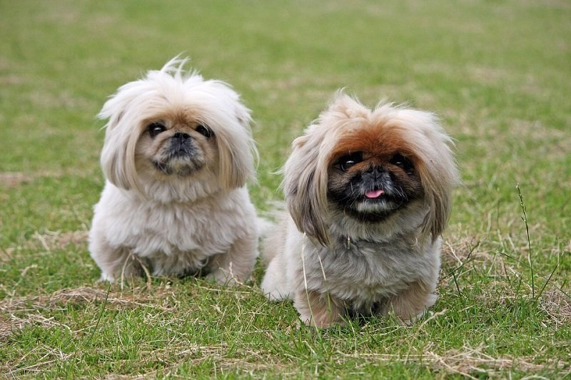 pekingese puppies sitting on grass