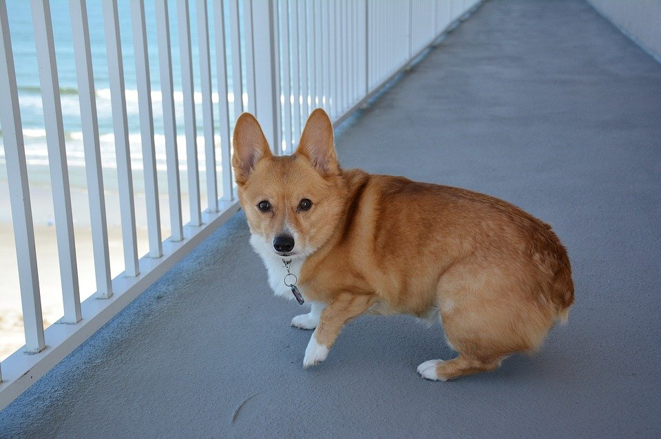 Pembroke Welsh Corgi standing on bridge