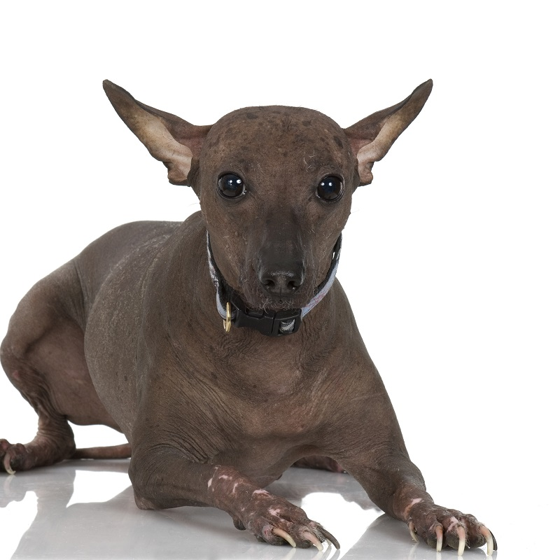 Peruvian Hairless dog in front of a white background