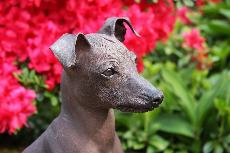close up of a peruvian hairless dog
